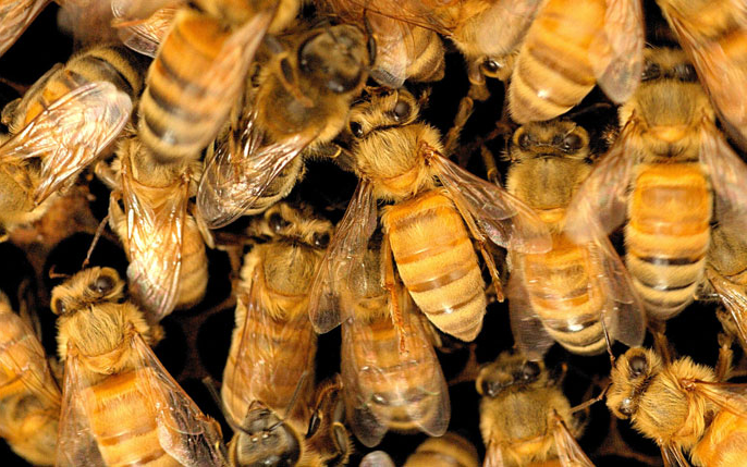 Pile of honeybees