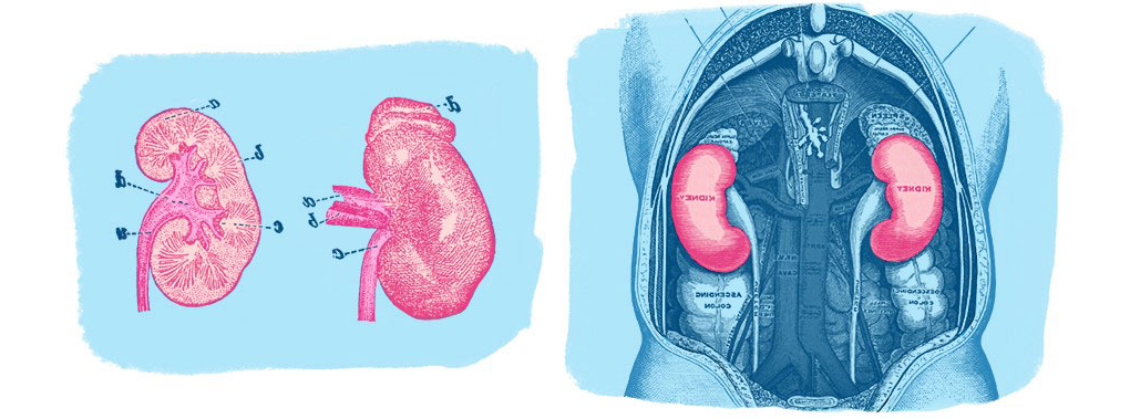 Two kidneys side by side illustration