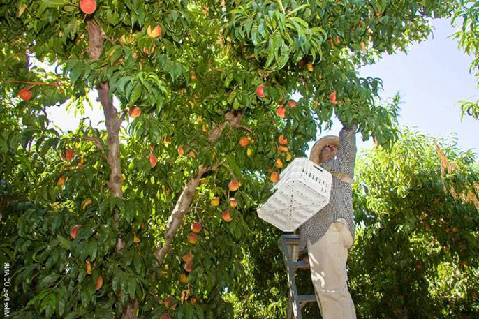Worker picking fruit from trees