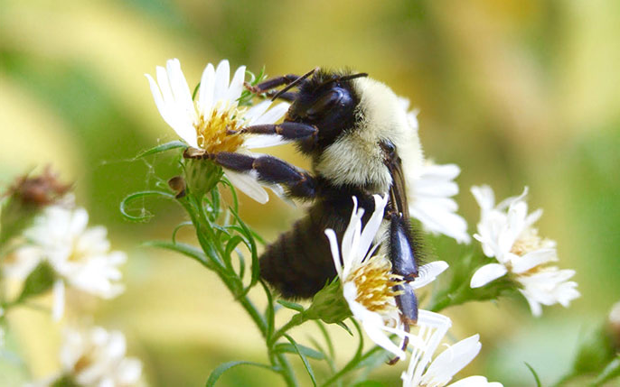A queen bumblebee on a flower